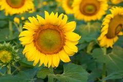 与向日葵领域的向日葵在背景中 免版税库存照片