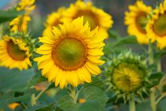 与向日葵领域的向日葵在背景中 库存照片