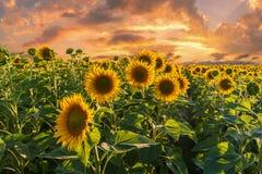与向日葵领域的风景在日落 库存照片