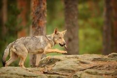 与吠声的小狼在他的嘴 库存图片