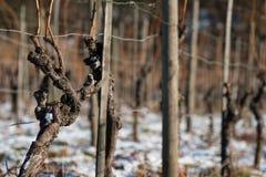 与吠声的老藤在与雪的冬天 库存图片