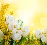 与含羞草,背景的郁金香 库存照片