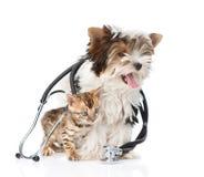 与听诊器的微小的孟加拉猫和Biewer约克夏狗小狗 查出在白色 库存照片