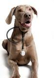 与听诊器的狗 库存图片