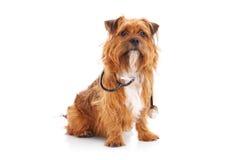 与听诊器的狗 免版税库存图片