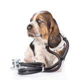 与听诊器的贝塞猎狗小狗在他的脖子 查出在白色 免版税库存图片