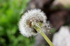 与吹的种子的蒲公英紧密  免版税库存照片