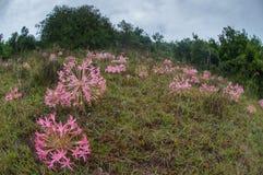 与周围的草的桃红色花 免版税库存照片