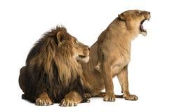与咆哮,紧挨着,豹属利奥的雌狮的狮子 库存图片