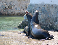 与和自己咬自己战斗的公加利福尼亚海狮在小游艇船坞小船发射在Cabo圣卢卡斯巴哈墨西哥BCS MEX 库存图片
