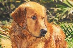 与哀伤和惶惑神色的湿金毛猎犬狗 免版税库存照片