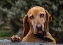 与哀伤和美丽的眼睛的红发狗 库存照片