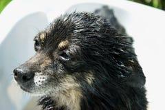 与哀伤的扫视,一张美妙的狗照片的一条小和湿狗在一个晴天 免版税库存图片