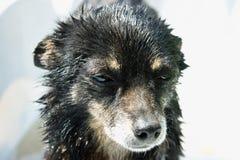 与哀伤的扫视,一张美妙的狗照片的一条小和湿狗 免版税库存照片