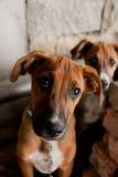 与哀伤的眼睛的小狗 免版税库存照片