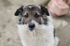与哀伤的眼睛的狗 免版税库存照片