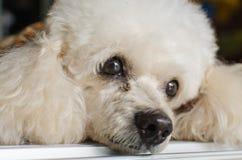 与哀伤的眼睛的白色狗 免版税库存图片