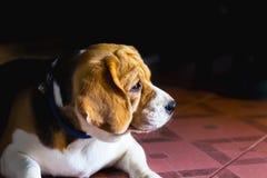 与哀伤的眼睛的老小猎犬狗和孤独 选择聚焦 库存图片