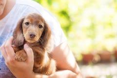 与哀伤的眼睛画象的美丽的达克斯猎犬小狗 库存照片
