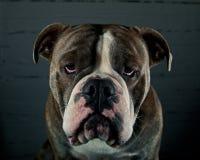 与哀伤的表示的牛头犬小狗 免版税图库摄影