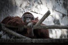 与哀伤的面孔的黑猩猩 免版税库存图片