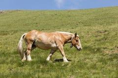 与响铃的一匹马在它的脖子上横跨一个草甸跑在比利牛斯 库存照片