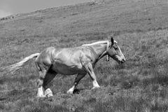 与响铃的一匹马在它的脖子上横跨一个草甸跑在比利牛斯 免版税库存照片