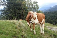 与响铃的一头幼小母牛 免版税库存图片