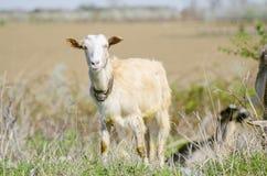 与响铃的山羊 免版税库存图片