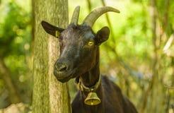 与响铃的本国山羊在它的脖子 免版税库存照片