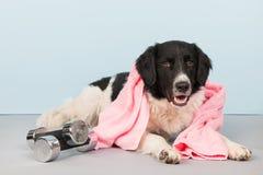 与哑铃和毛巾的狗 免版税图库摄影