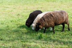 与哺养在一个草甸的两只羊羔的母亲绵羊在春天 图库摄影