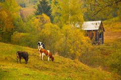 与哺养在一个草甸的母牛的秋天风景在Bucovina 免版税图库摄影