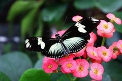 与哺养在花的白色条纹的黑蝴蝶Heliconius佐良theudela 免版税库存照片