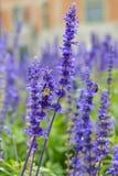 与哺养在花粉的土蜂的美丽的会开蓝色钟形花的草 图库摄影