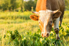 与哺养在草甸的强的垫铁的大公牛 库存图片