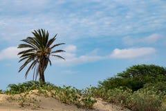 与唯一棕榈树的田园诗热带场面在沙漠沙子,佛得角 免版税库存图片