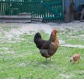 与啄在绿草的小鸡的母鸡 图库摄影