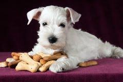 与喂狗的硬饼干骨头的小狗 图库摄影