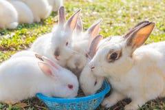 与喜欢的逗人喜爱的白色兔子吃 免版税库存图片
