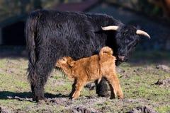 与喝新出生的小牛的黑苏格兰高地居民母亲母牛 免版税库存照片