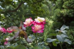 与喷泉的玫瑰在梅里克的罗斯加尔德角梅里克玫瑰园 库存照片