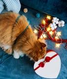 与嗅一个心形的礼物盒的一只红色猫的一张舒适照片 免版税库存照片