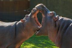 与嘴是更大的开放嘴的两个河马 小河马战斗 动物护养 滑稽的素食野生动物 免版税库存图片