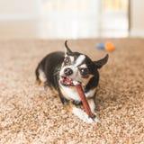 与嚼玩具的黑奇瓦瓦狗 免版税库存照片