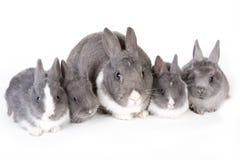 与四个兔宝宝的灰色母亲兔子 免版税库存图片