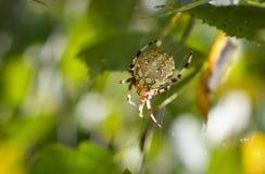 与四个斑点的蜘蛛,女性Araneus quadratus 免版税图库摄影