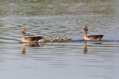 与四只雏鸟子孙的灰色鹅分析服务公司分析服务公司家庭 图库摄影