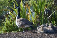 与四婴孩的一只加拿大鹅金门公园的 免版税库存照片