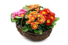 与四朵樱草属花的篮子在白色iso的红色橙色桃红色 免版税库存图片